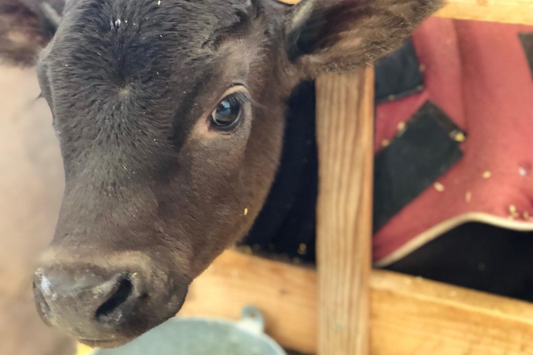 生後~7ヵ月までの子牛