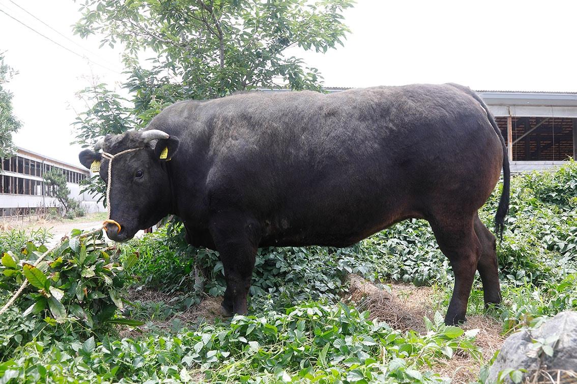 近江亀井牛にはほぼ90%以上がA4等級以上の上物